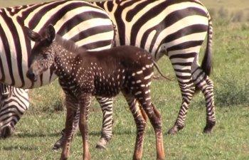Pui de zebra deosebit: are pete in loc de dungi