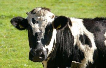 Vaci pictate cu dungi de cercetatori pentru a semana cu zebrele. Rezultatele experimentului /VIDEO