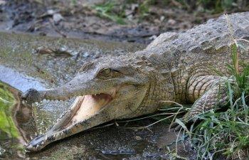 Un barbat a reusit sa se elibereze dintre maxilarele unui crocodil lovindu-l in ochi