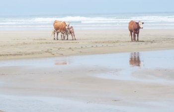 Trei vaci luate de ape in timpul urganului Dorian, gasite in viata dupa doua luni