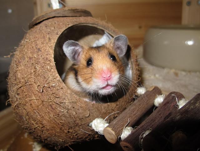 Un hamster jucaus
