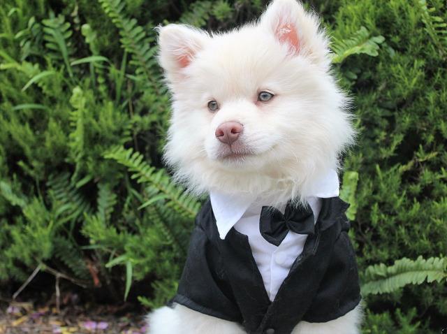 Un caine pregatit de nunta