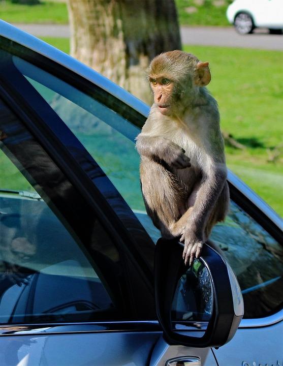 O maimuta jucausa