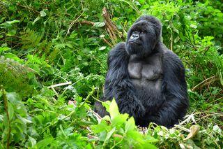 #9: Gorilele