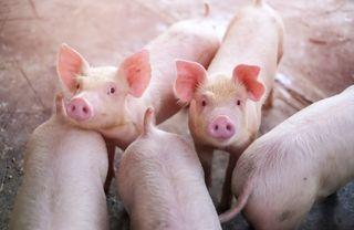 #10: Porcii