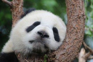 Ursii Panda dorm pe unde apuca