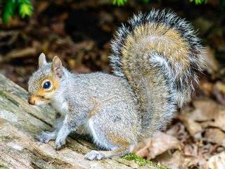 De ce mesteca veveritele?