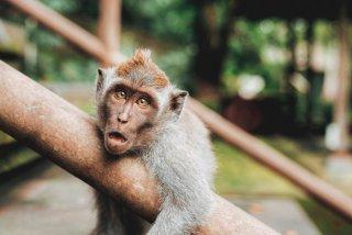 Maimutele devin singuratice la batranete