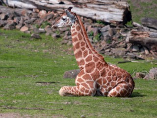 Girafele dorm doar o jumatate...