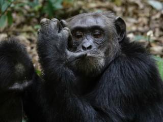 Oamenii au evoluat din cimpanzei