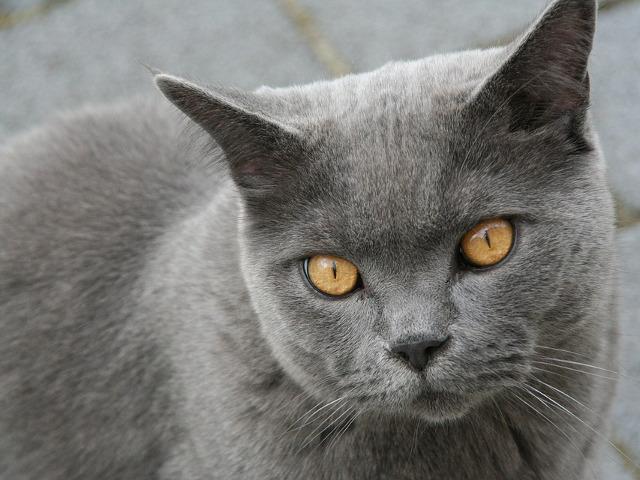Pisica din rasa British...