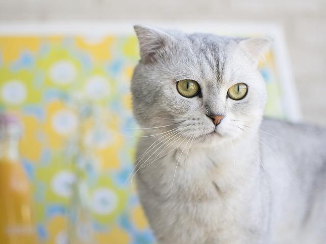Pisica din rasa Scottish Fold...