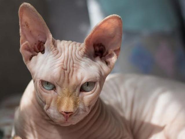 Pisica din rasa Sfinx –...