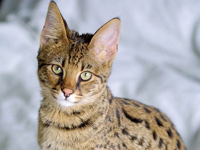 Pisica din rasa Savannah,...
