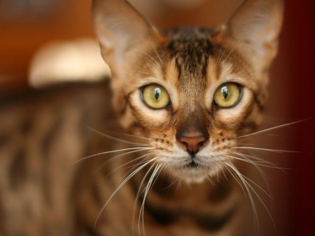 Pisica din rasa bengaleza -...
