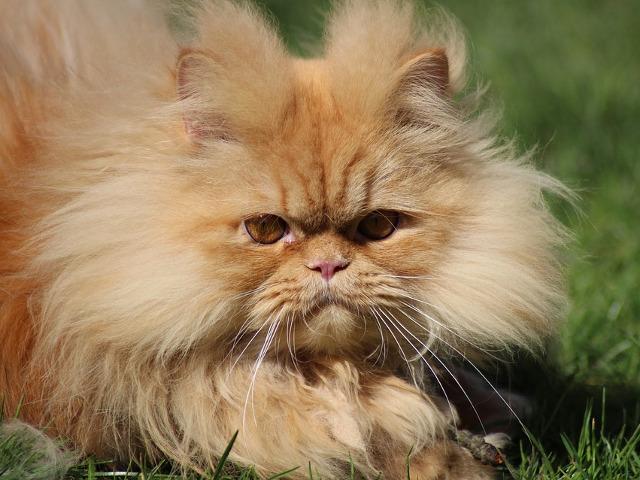 Pisica persana – $500 –...