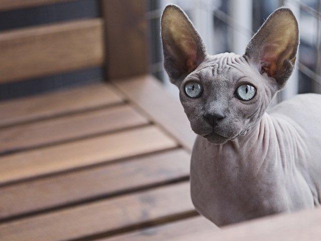 Pisica din rasa Peterbald – $1200 – $5000