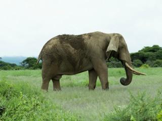 Elefantul injectat cu droguri