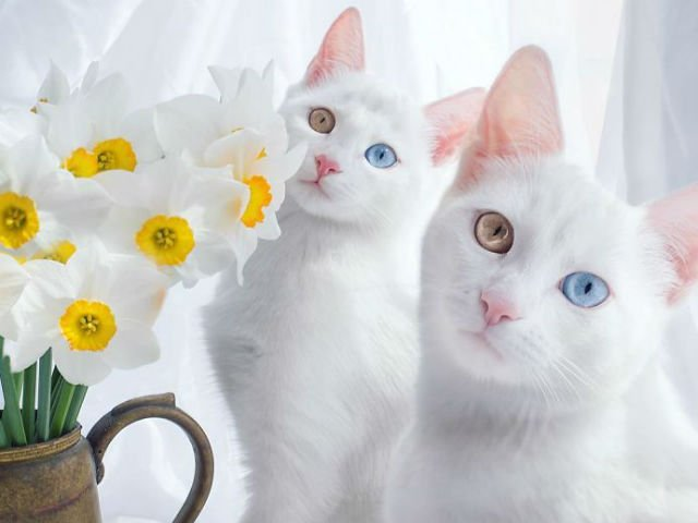 Pisici gemene cu ochi diferiti