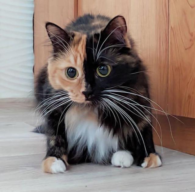 O pisica cu doua fete